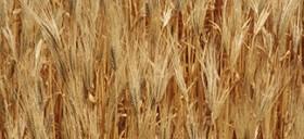 التأمين متعدد المخاطر المناخية على الحبوب والقطاني
